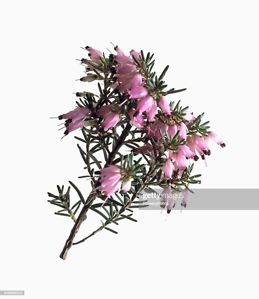 Heather Winter Heath Spring Heath Bell Heather Erica Variety News Photo Getty Images