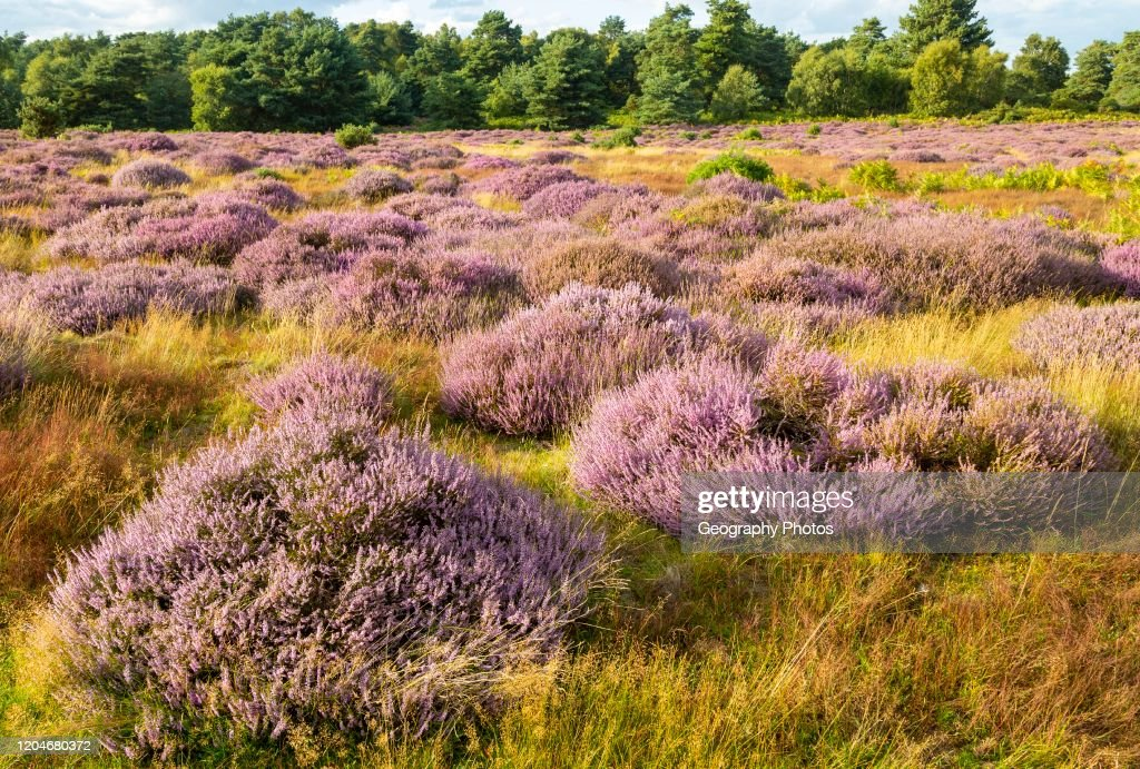 Heathland Vegetation With Heather In Flower Calluna Vulgaris Sutton News Photo Getty Images