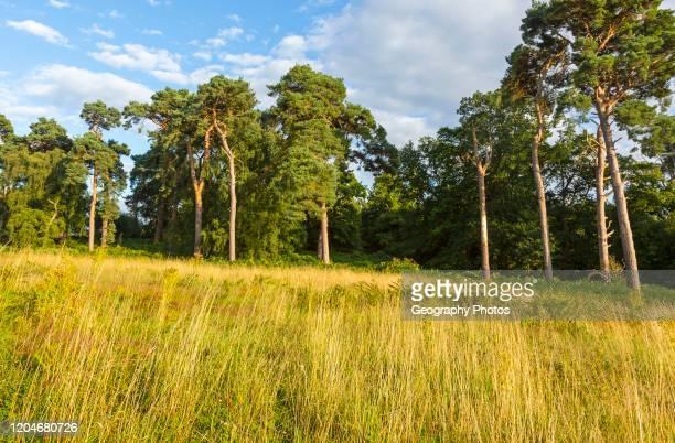 Heathland vegetation with Scots pine tree Pinus sylvestris Sutton Heath near Shottisham Suffolk England UK