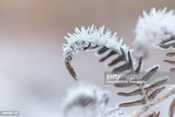 Heavy Frost On British Bracken