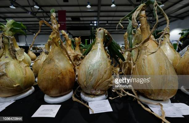Heavy onions are displayed ahead of judging on the first day of the Harrogate Autumn Flower Show held at the Great Yorkshire Showground on September...