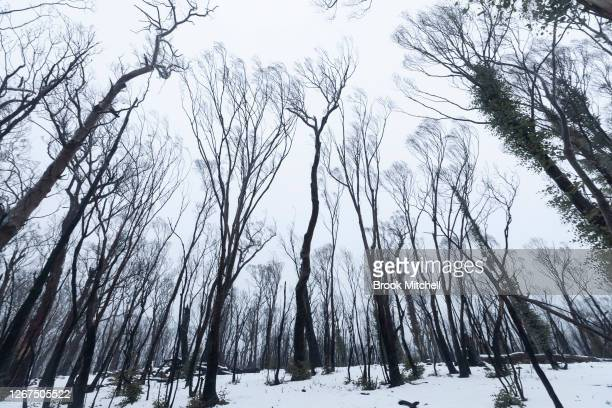 Heavy snow falls on bushfire damaged country inside the Kosciuszko National Park near Adaminaby on August 21, 2020 in Adaminaby, Australia. The...