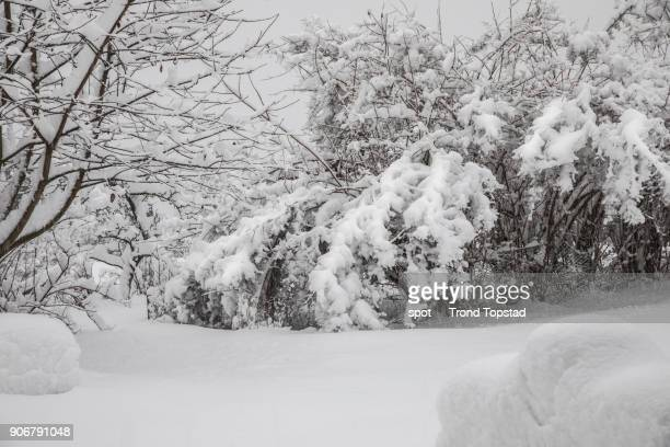 Heavy snow on bushes