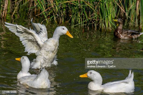 heavy white american pekin ducks also known as long island or aylesbury ducks - pekin duck stock pictures, royalty-free photos & images