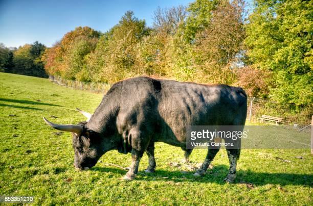 Heck cattle (Bos primigenius)