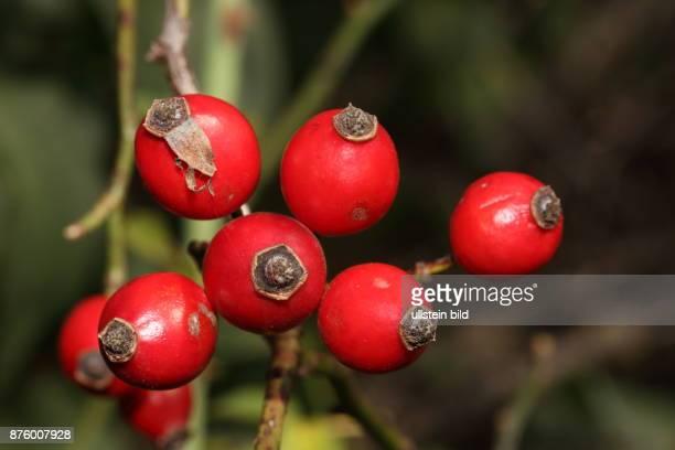 Heckenrose Zweig mit sechs roten Hagebutten