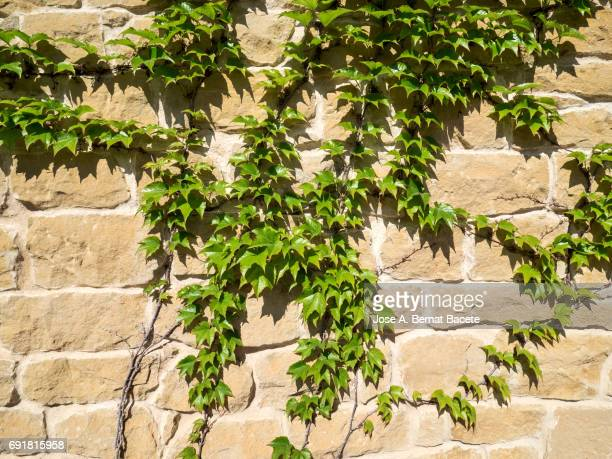 Hedera, Ivy growing on stone wall, Illuminated by sunlight,  close up.