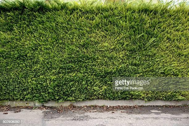 A Hedge at Bern city Switzerland