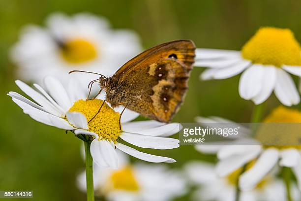 Hedge Brown butterfly on the centre of an Oxeye daisy