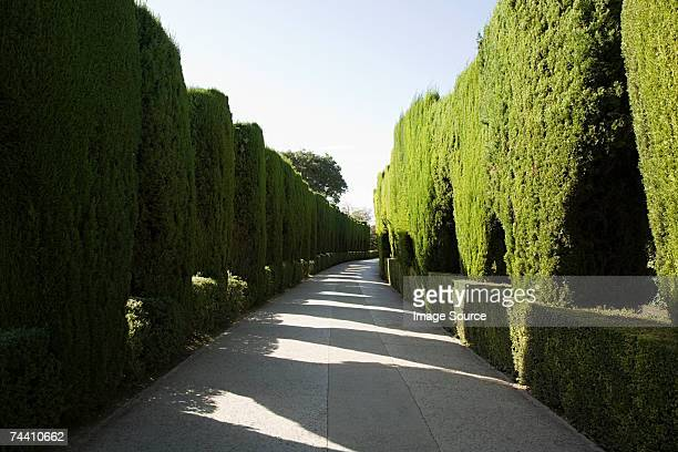hedge lined path - topiary stock photos and pictures