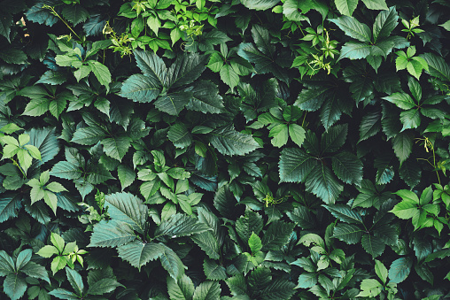 Hedge of big green leaves in spring. Green fence of parthenocissus henryana. Natural background of girlish grapes. Floral texture of parthenocissus inserta. Rich greenery. Plants in botanical garden. 1133719859