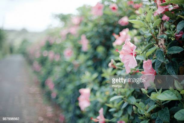 hedge of pink hibiscus - hibiscus stock pictures, royalty-free photos & images