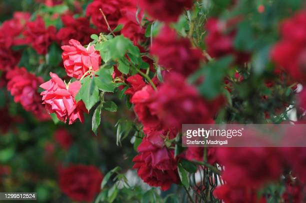 hedge of red roses - red roses garden stock pictures, royalty-free photos & images