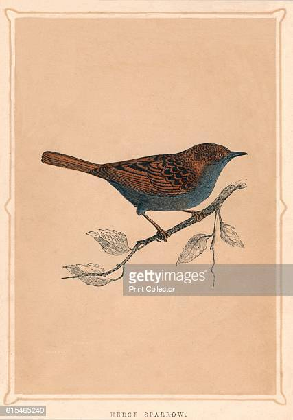 Hedge Sparrow C1850 From Bible Natural History Containing A