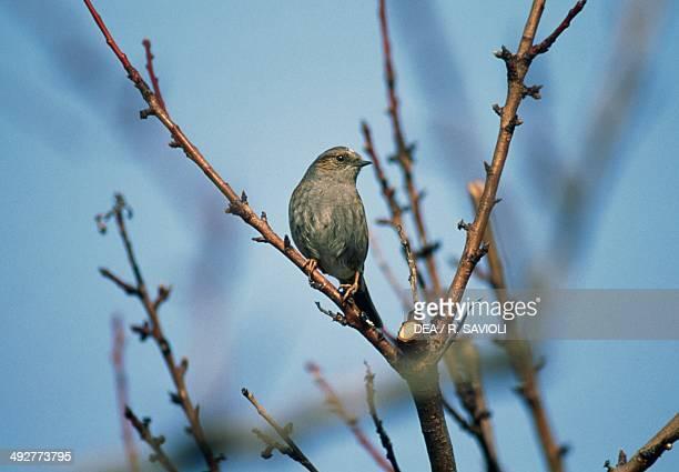 Hedge sparrow or Dunnock Prunellidae