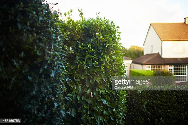 Hedge with house in background