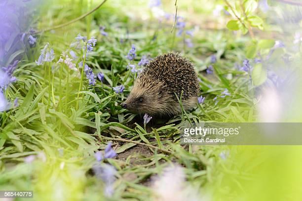 Hedgehog amongst bluebells