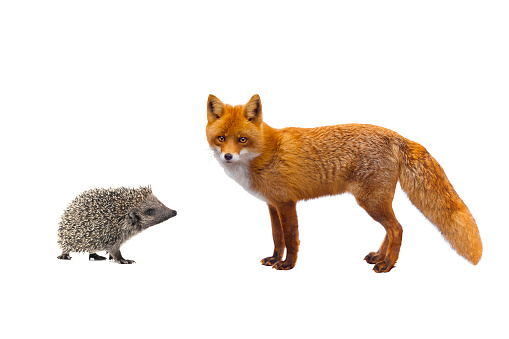 hedgehog and fox 903556406