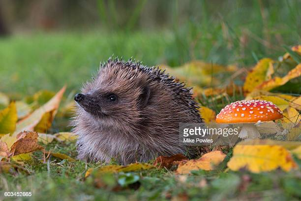 Hedgehog and toadstool