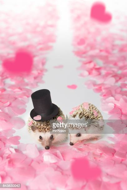 hedgehog bride and groom walking down the aisle - monogamous animal behavior stock photos and pictures