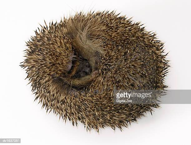 hedgehog curled up, against a white background - 冬眠 ストックフォトと画像