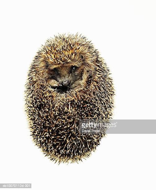 Hedgehog (Erinaceus europaeus) curled up on white background