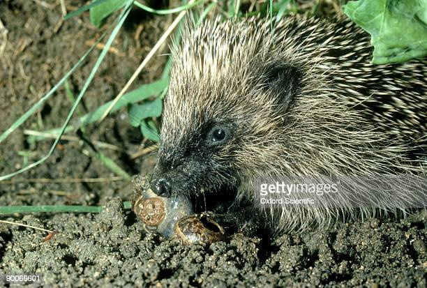hedgehog erinaceus europaeus baby hunting snails in cabbage patch. oxon, u.k.