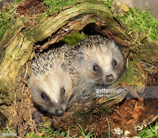 Hedgehog -Erinaceus europaeus-, young animals in old tree stump, Allgau, Bavaria, Germany