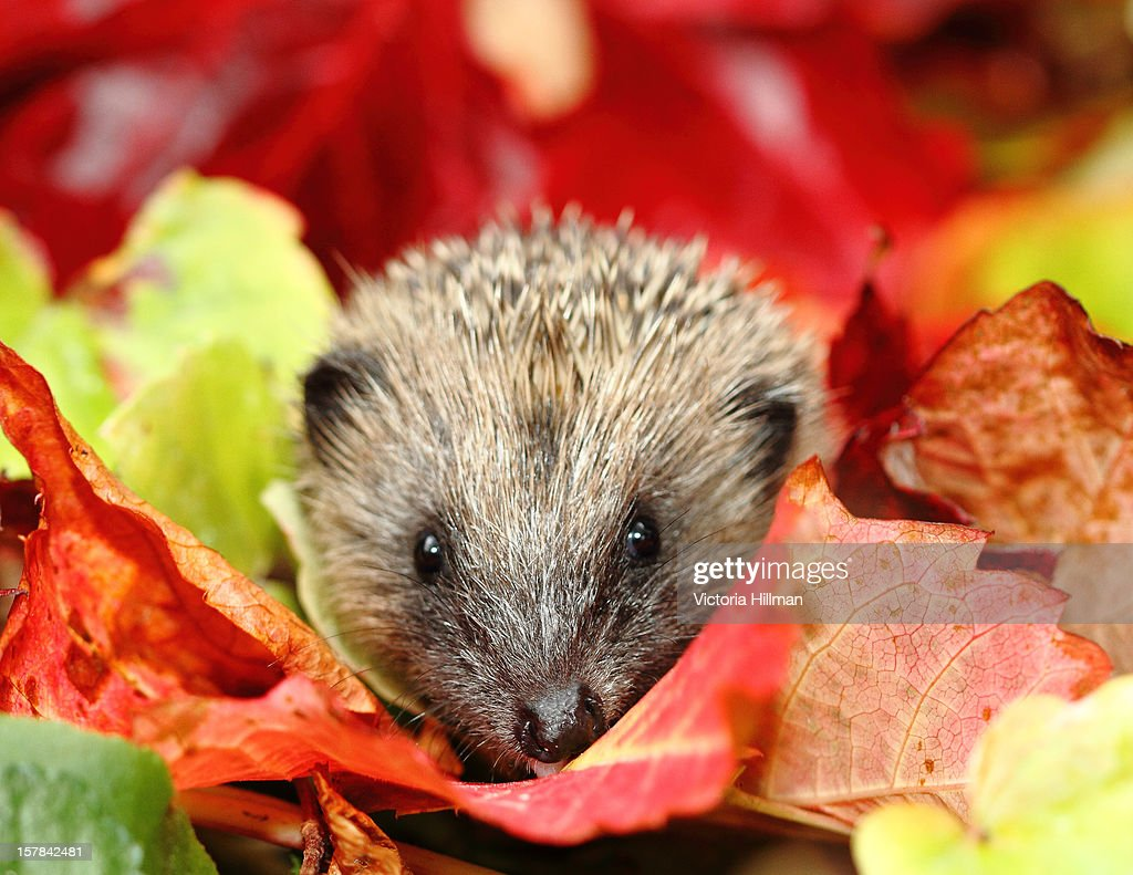 Hedgehog in Autumn leaves : Stock Photo