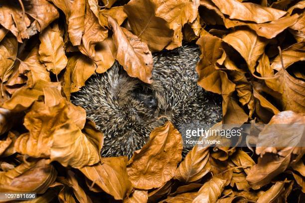 hedgehog in hibernation (erinaceus europaeus), bavaria, germany - hibernation stock pictures, royalty-free photos & images