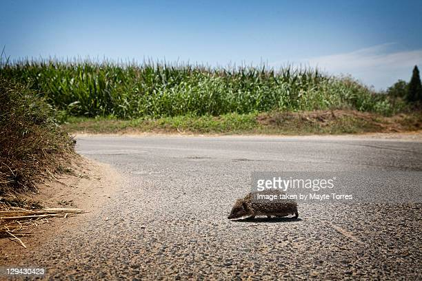 Hedgehog in road