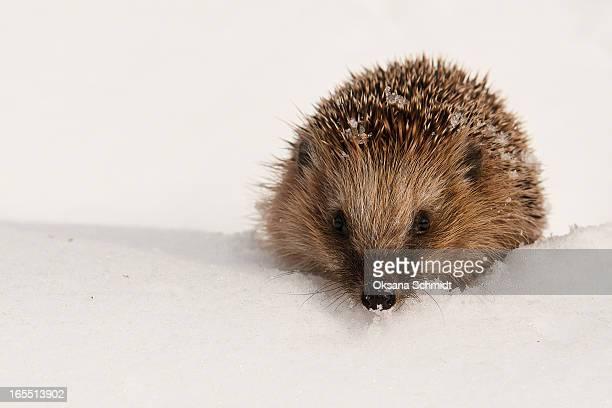hedgehog in snow (Erinaceus europaeus)