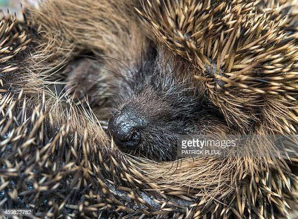 A hedgehog is pictured at a private hedgehog shelter in Neuzelle eastern Germany on December 2 2014 Simone Hartung and her husband Klaus Hartung are...