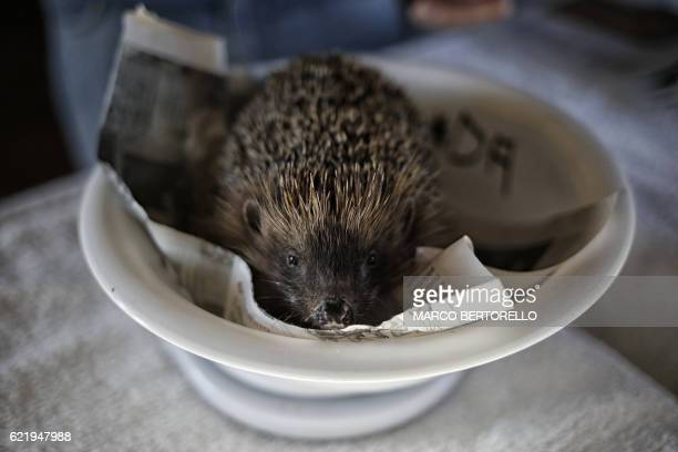 A hedgehog is pictured at the 'hedgehogs hospital' in Novello northern Italy on November 8 2016 The 'hedgehogs hospital' takes care of around 60...