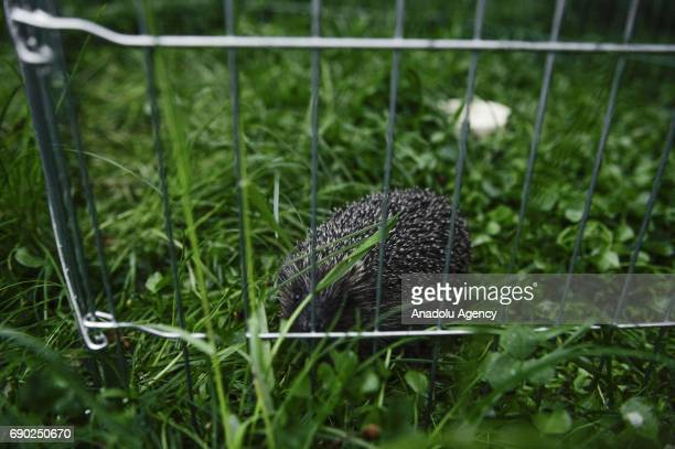 A hedgehog is seen at Foundation Igliwiak a rescue center for hedgehogs in Kazimierza Wielka Poland on May 30 2017 The Foundation Igliwiak is...