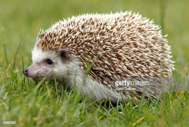 Hedgehog is seen at the San Francisco Zoo June 13 2003 in San Francisco The recent epidemic of Monkeypox in the US which was linked to infected...