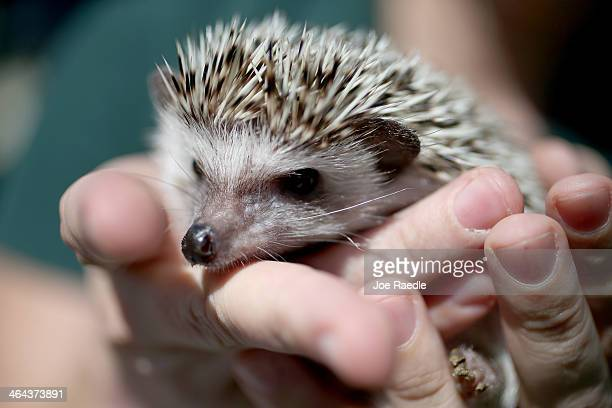 A hedgehog is seen during a press conference by the Florida Fish and Wildlife Conservation Commission to encourage people who own exotic pets like...