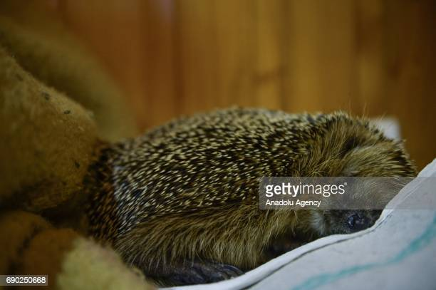 A hedgehog is seen on the sofa at Foundation Igliwiak a rescue center for hedgehogs in Kazimierza Wielka Poland on May 30 2017 The Foundation...