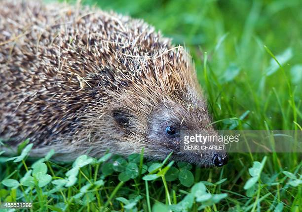 A hedgehog makes its way through a grassy area on September 12 2014 in the northern French town of Locon AFP PHOTO / DENIS CHARLET