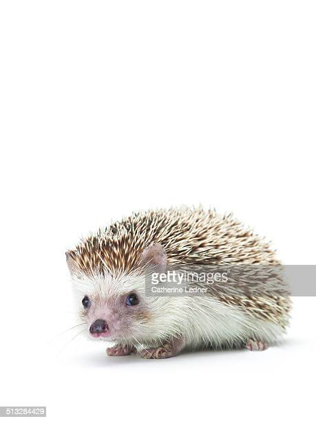 Hedgehog on White Seamless