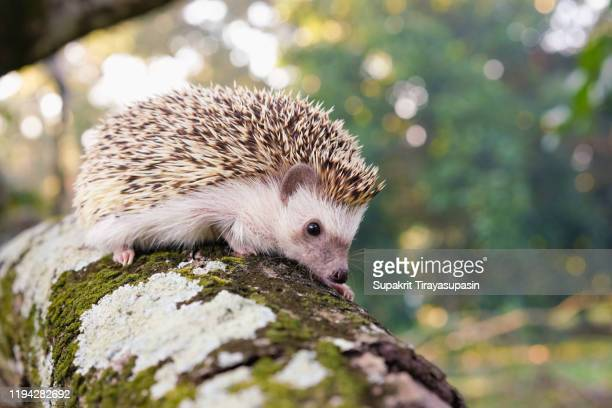a hedgehog perched on a branch - istrice foto e immagini stock
