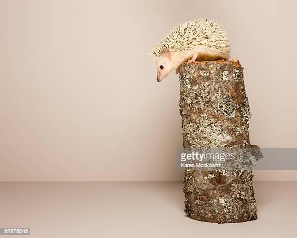 hedgehog perched on log, studio shot
