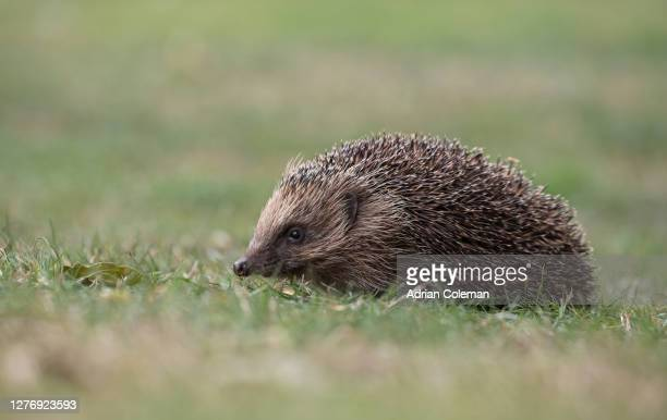 hedgehog - animal stock pictures, royalty-free photos & images