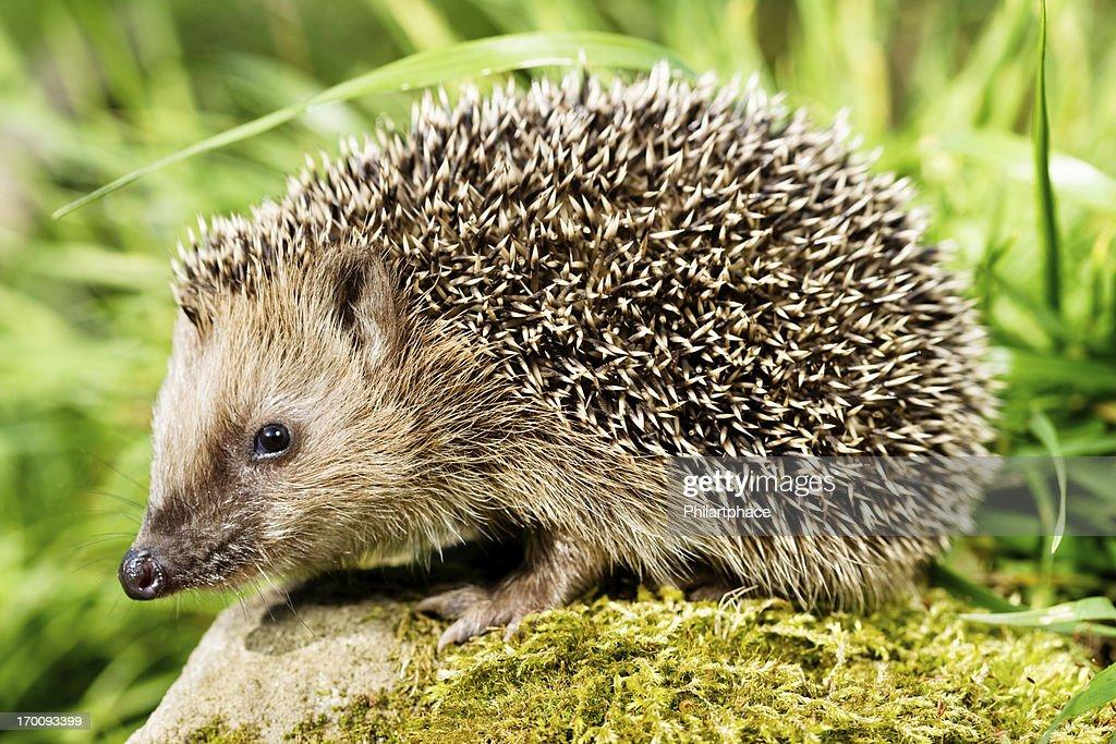 hedgehog : Stock Photo