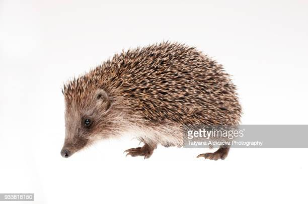 hedgehog - hairy balls stock photos and pictures
