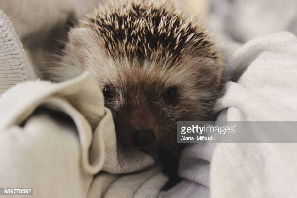 hedgehog - porcupine stock photos and pictures
