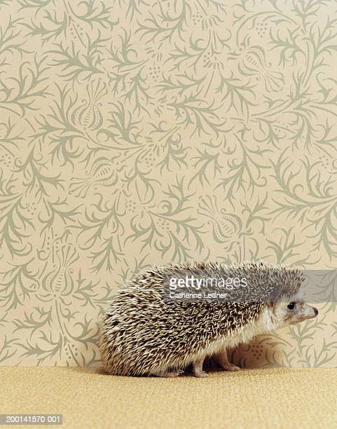 Hedgehog (atelenix albirentris) sitting in front of wallpaper