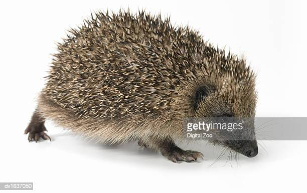 Hedgehog Standing Against a White Background