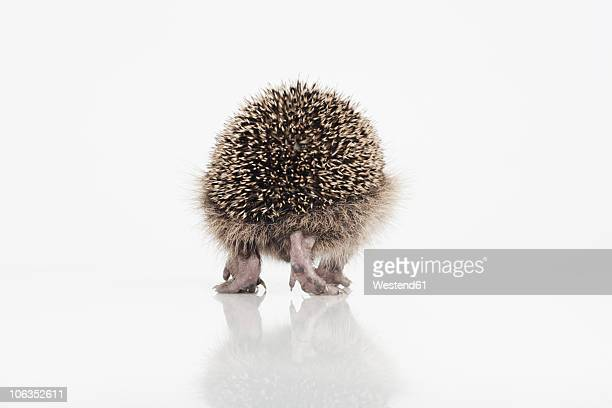 Hedgehog walking on white background