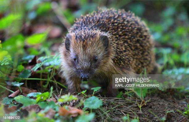 A hedgehog walks through a garden in Kaufbeuren southern Germany on September 09 2012 OUT